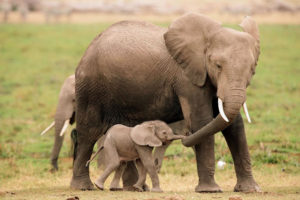 mother-elephant-baby-elephant-calf